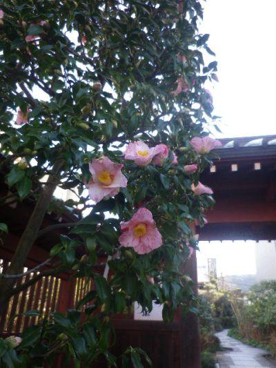 01-2)  ' ひむろせつげっか '    17.01.13 鎌倉「大巧寺」 初詣