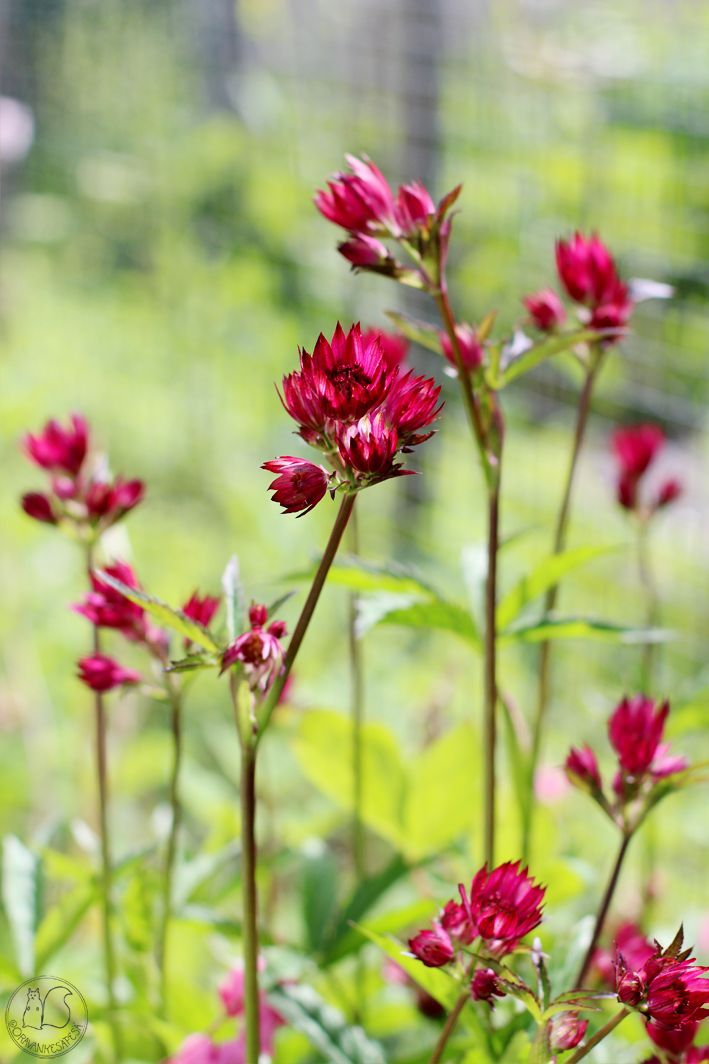 Oravankesäpesä |  Isotähtiputki Astrantia major 'Ruby Wedding'