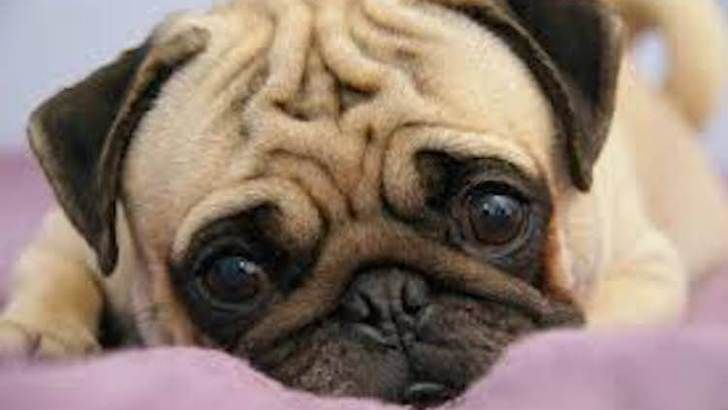 Pug: Brought from China to Holland four hundred years ago, the pug was later perfected in England Description While the pugs that are depicted in eighteenth century prints tend to be long and lean, modern breed preferences are