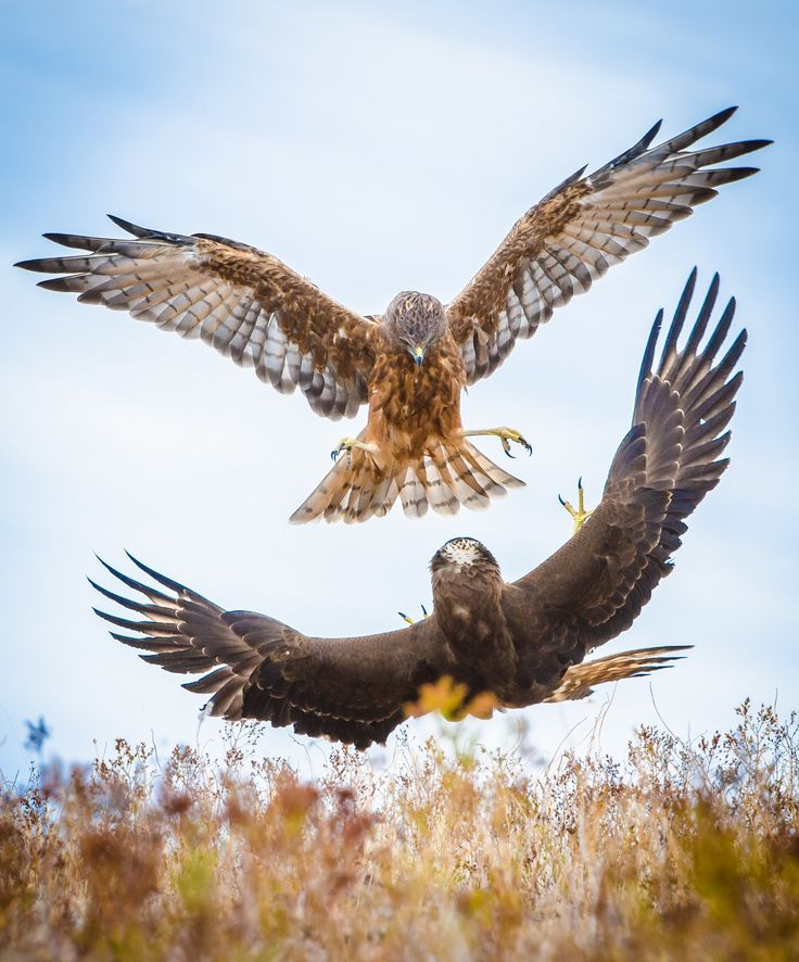 Hawk fight large - New Zealand hawks soar over open country hunting for prey. They often fight over the spoils and in this shot the lower hawk was feeding and flipped over the instant a competitor arrived to defend his prey.