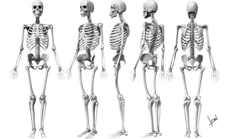 Complete Skeleton 3D modeling by alvesan http://alvesan.deviantart.com/art/Complete-Skeleton-3D-modeling-288042500