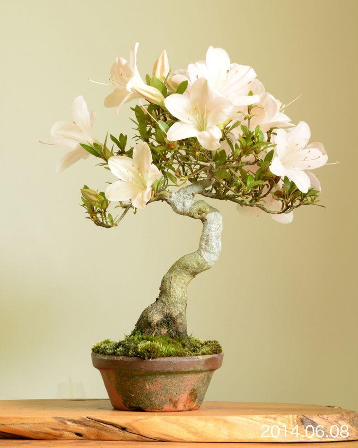 Satsuki azalea shohin-bonsai Bonsai on the rock