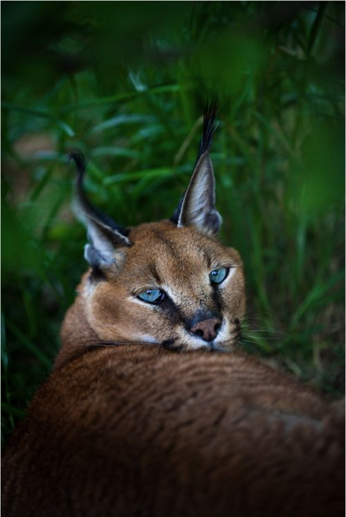 'Aretha Caracal' door Nathan Schepker http://www.stichtingspots.nl/index.php?page=386