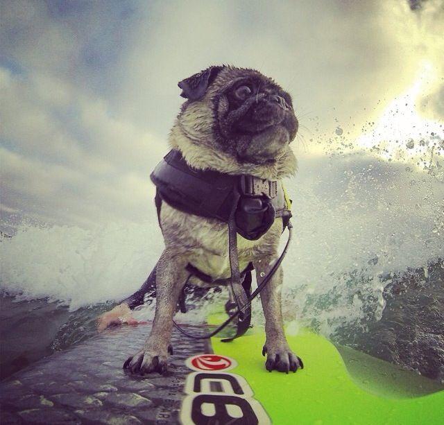 Best Pug Love Images On Pinterest Pug Love Pugs And Pug Life - Brandy the award winning surfing pug