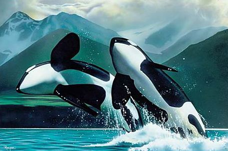 Orcas - where they belong...in the ocean...free