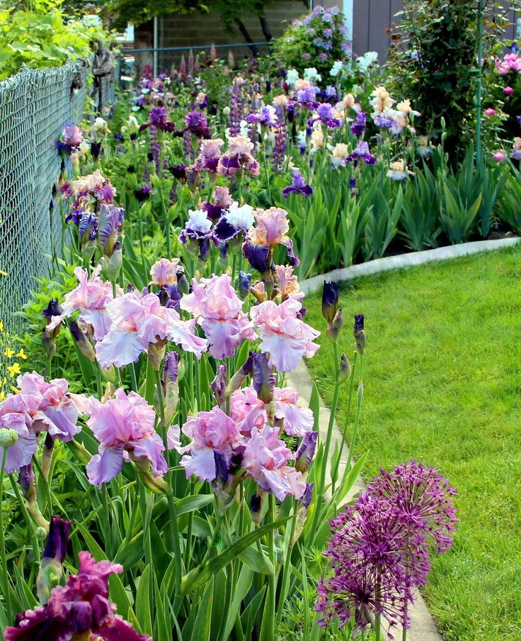 """Persian Berry"" irises"