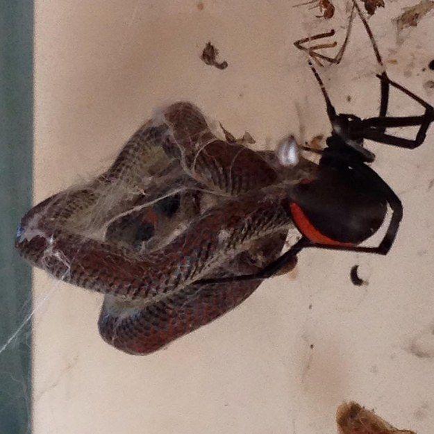 De la famille des Hexathelidae, la veuve noire à dos rouge est une araignée dont la morsure est mortelle