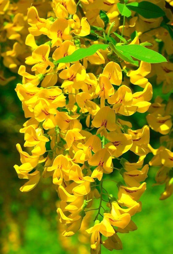 Yellow Chinese Wisteria 10 Seeds Wisteria Sinensis Chinese Yellow Wisteria Oriental Yellow Wisteria Far Eas Chinese Wisteria Yellow Flowers Yellow Wisteria