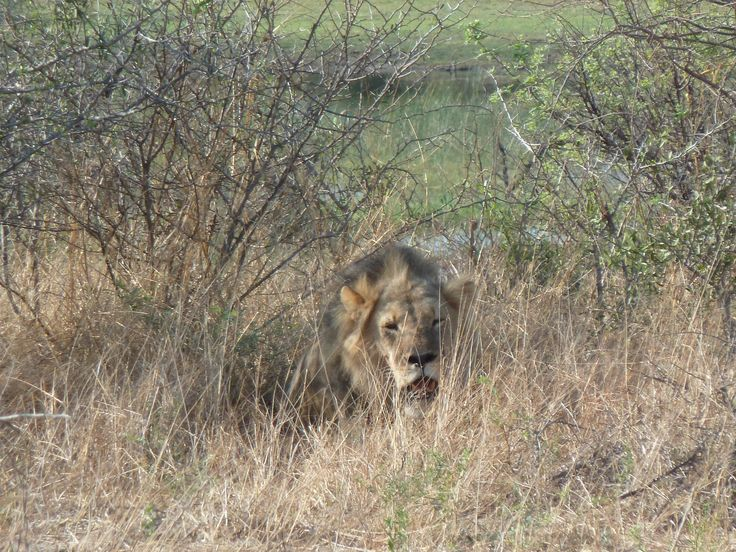 This was our very FIRST lion. Lots more to come   Botswana101.com #FirstLionOkanvangoDelta