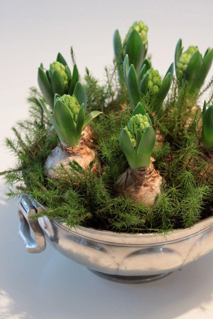 jacinthes, Hyacinths