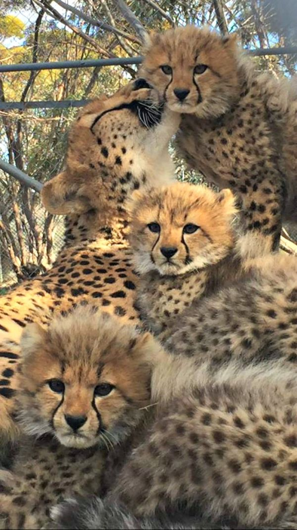 Five Cheetah cubs are fluffing it up at Australia's Monarto Zoo! Read more on ZooBorns.com and at http://www.zooborns.com/zooborns/2017/07/five-cheetah-cubs-fluff-it-up-at-monarto-zoo.html