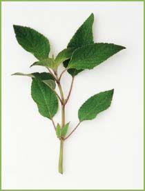 Ananassalvie- At man skulle til at bruge salvie i dessertkøkkenet, kom bag på mange. Men med ananassalvien er det en oplagt mulighed. Den pynter og har en meget kraftig duft af ananas, som vil overraske mange. Brug ananassalvien til gelé eller som pynt til frugtsalaten. Det grønne og eksotiske indslag til sommerdrinks kan også meget vel være ananassalvien. Tørrede blade og blomster anvendes i potpourrier.