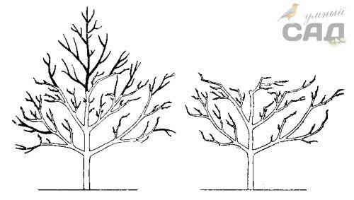 Как делается обрезка вишни осенью: молодой, кустовидной и древовидной