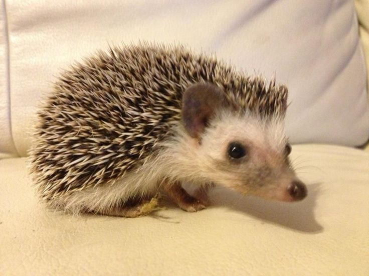 African Pygmy Hedgehog | Female African Pygmy Hedgehog For Sale | Milton Keynes ...