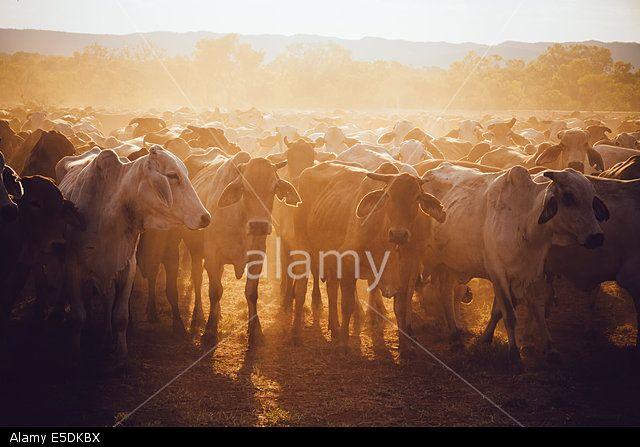Australia, Western Australia, Australian cattle on a farm
