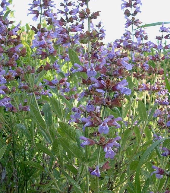 A Salvia officinalis L. pertencente a família botânica Lamiaceae é mais conhecida pelos seus outros diversos nomes populares, tais como: Chá-da-europa, Chá-da-frança, Chá-da-grécia, Erva-santa, Grande-salva, Sábia, Salva, Salva-da-catalunha, Salva-das-boticas, Salva-das-farmácias, Salva-dos-jardins, Salva-mansa, Salva-menor, Salva-ordinária, Salveta ou simplesmente Sálvia. Trata-se de uma espécie alóctone que cresce espontaneamente no sul da Europa, desde as margens do Mediterrâneo até 800…