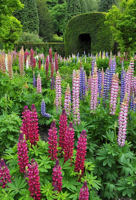 MIX: Lupin garden at Chatsworth by Keartona - Love Lupin,it comes up every year without re-planting !!