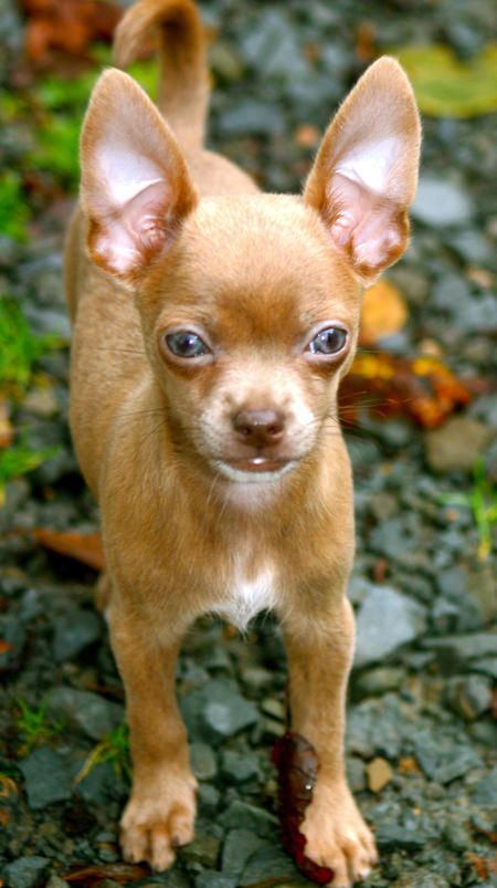 Chihuahua: Animals, Sweet, Puppy, Baby, Chihuahuas Dogs, Eyes