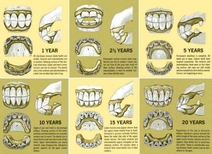 Estimate Your Horses Age By His Teeth Pinterest Horse Teeth