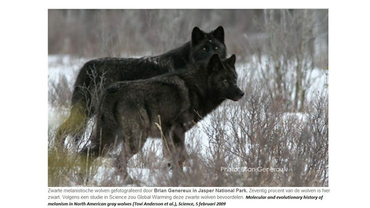 zwarte wolven Japer National Parc