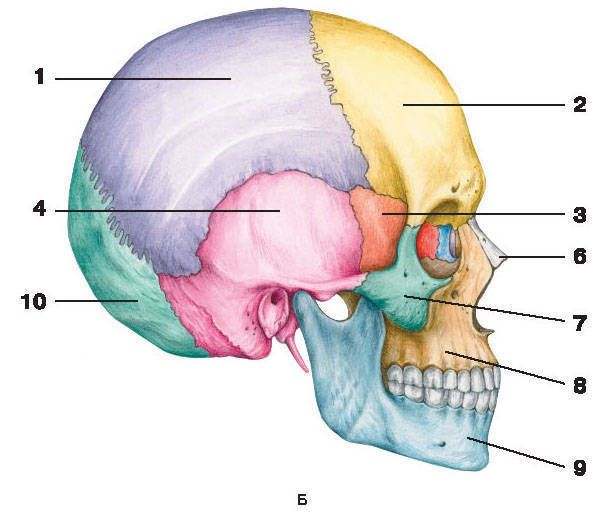 Fig 59 CherepB  side view 1  parietal bone  2