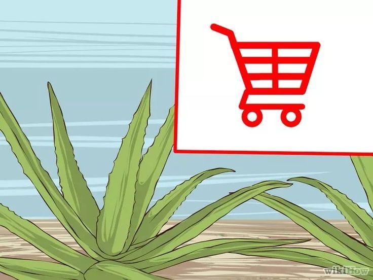 Image intitulée Grow and Use Aloe Vera for Medicinal Purposes Step 1
