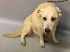 SUPER URGENT 06/11/17. Missy aka Mindy ID#1111447. 8yr. old spayed female Labrador Retriever. Came in with Tyco aka Mork.