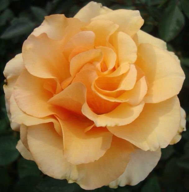 Sunstruck Rose