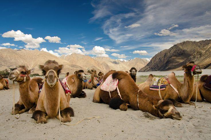 Bactrian Camels - Hunder, Nubra Valley