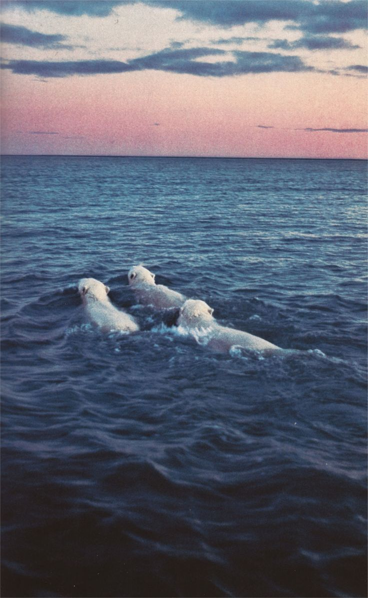 swimming polar bears