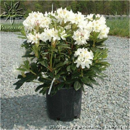 8 best ilex crenata images on pinterest planting shrubs. Black Bedroom Furniture Sets. Home Design Ideas