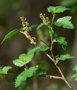 Taikinamarja, Ribes alpinum - Puut ja pensaat - LuontoPortti