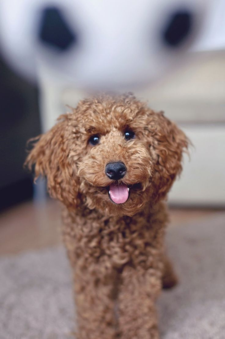 Poodle Miniature, Apricot, Puppy, Ball, 6 Months