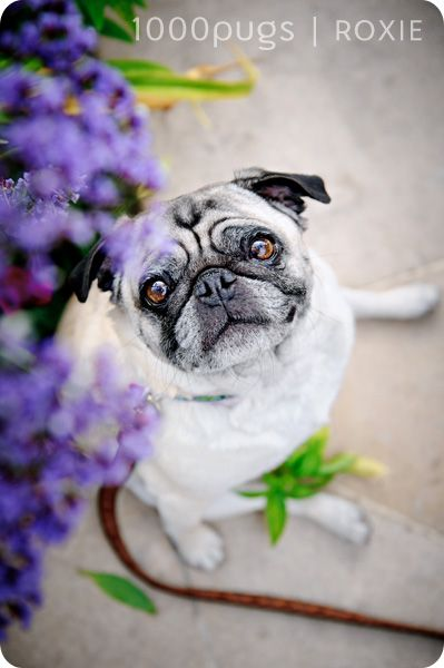 flowers and pugs! so