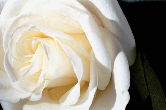 Beautiful Rose Pictures. It is the symbol of beauty. It is one of our most favourite things in the whole world. This is a collection of the rose pictures