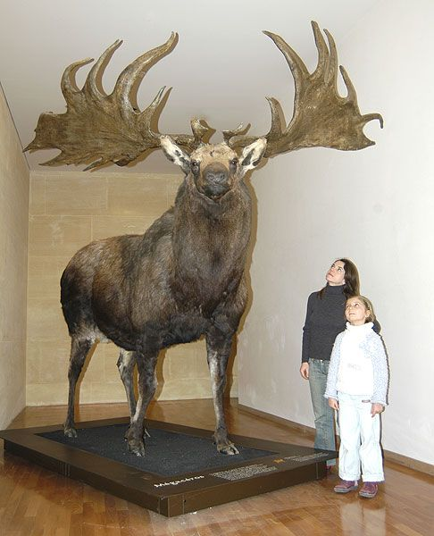 irish elk - Google Search                                                                                                                                                                                 More
