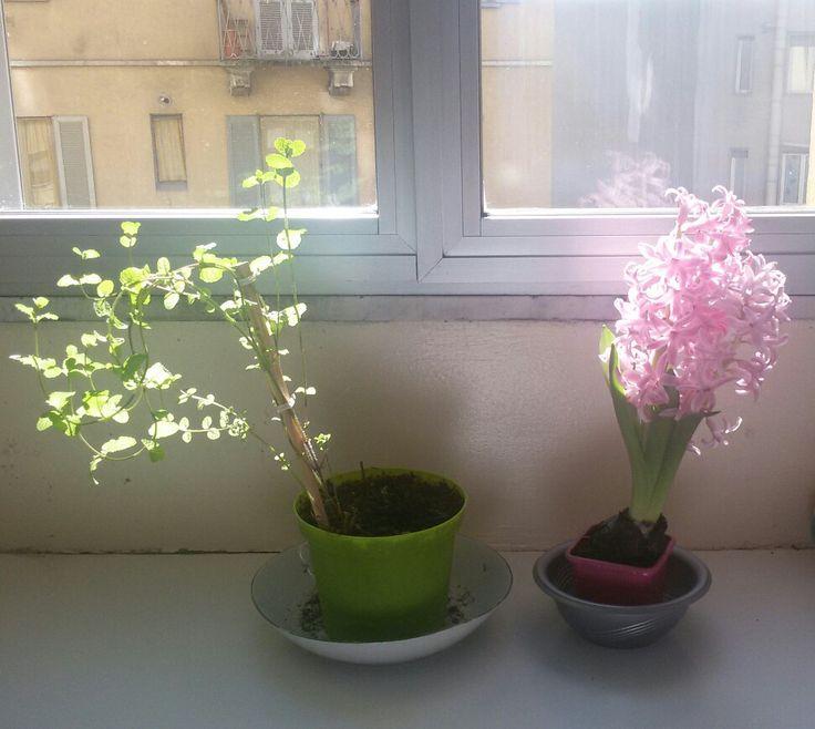Giacinto e menta: il bello e il buono.