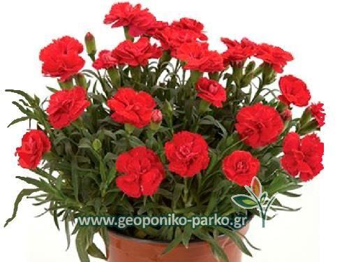 Ανθόφυτα - Πολυετή ανθοφόρα : Γαρυφαλλιά - Γαρύφαλλο φυτό  Dianthus caryophyllus