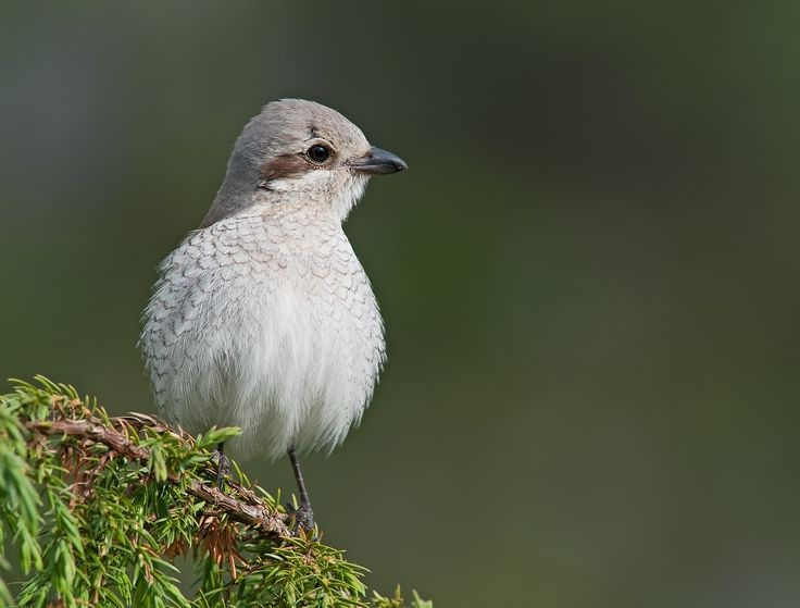 https://flic.kr/p/rDiCki | Red-backed Shrike F