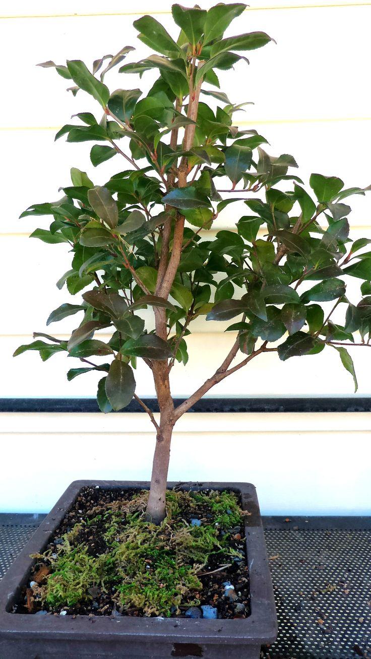 Bonsai Tree 19 Excellent Bonsai In Abilene Tx Inspirations