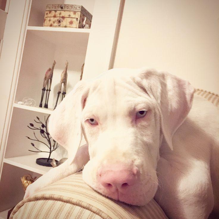 White Great Dane puppy. My love ❤️