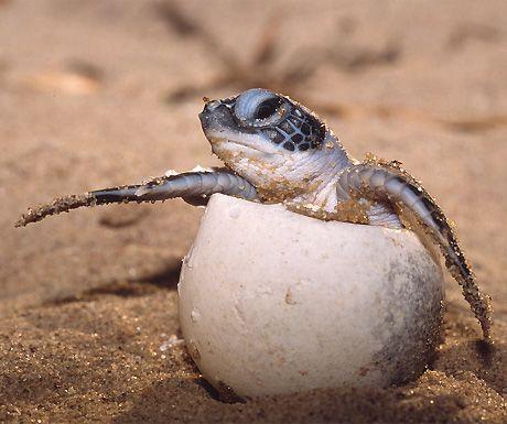 Watch turtles nest on Australia's Heron Island http://www.aluxurytravelblog.com/2012/10/17/watch-turtles-nest-on-australias-heron-island/