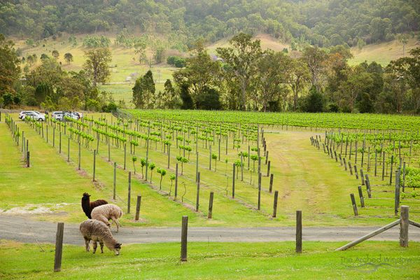 Alpacas graze around the vineyard during the wedding ceremony. photography by The Arched Window, Mount Tamborine.