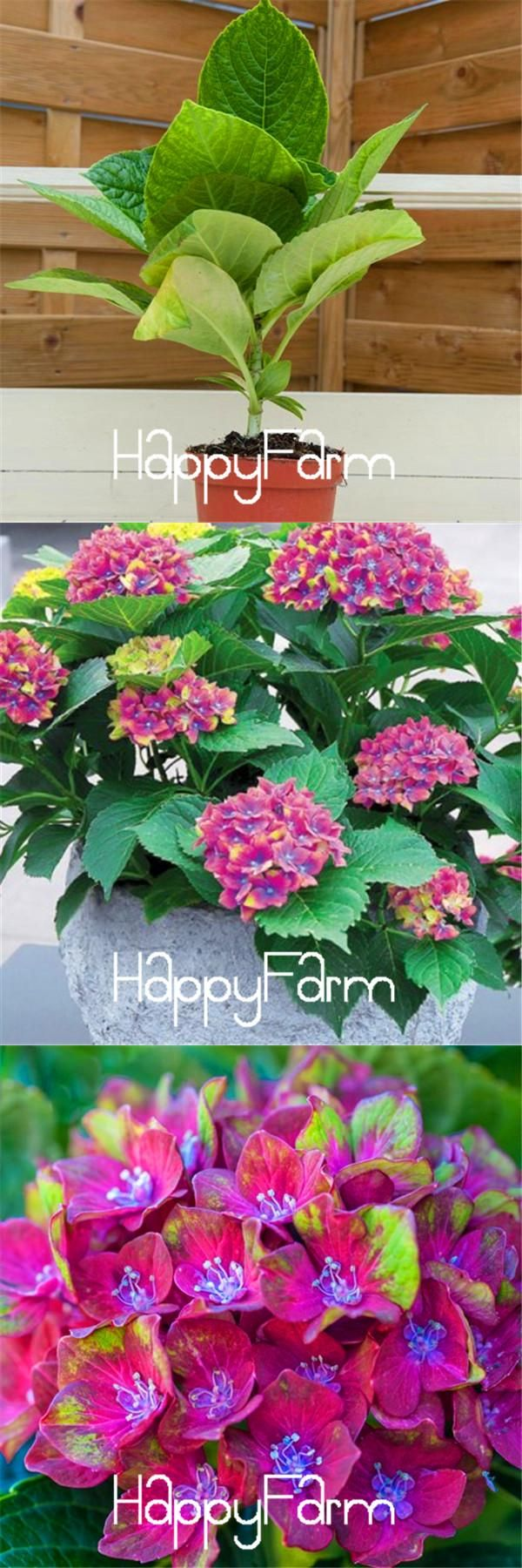 100pcs/lot Hydrangea macrophylla 'Magical Collection' seeds Bonsai potted plant DIY home garden free shipping,CG810Z