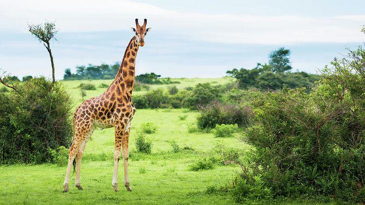 Giraffe  Giraffa Camelopardalis Photograph by Reynold Mainse
