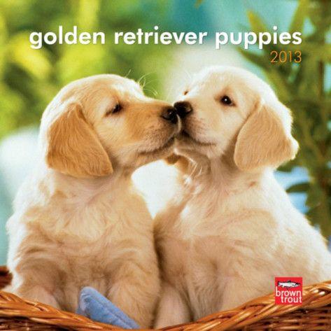 Funny Golden Retriever Puppies   Golden Retriever Puppies - 2013 Mini Calendar Calendars at AllPosters ...