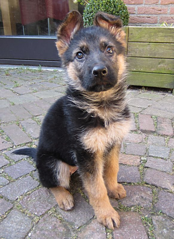 German Shepherd Puppy Tap The Pin For The Most Adorable