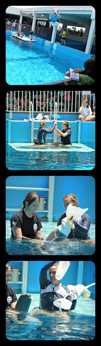 Winter the Dolphin (from the movie Dolphin Tale) practicing with her prosthetic tale @ Clearwater Marine Aquarium
