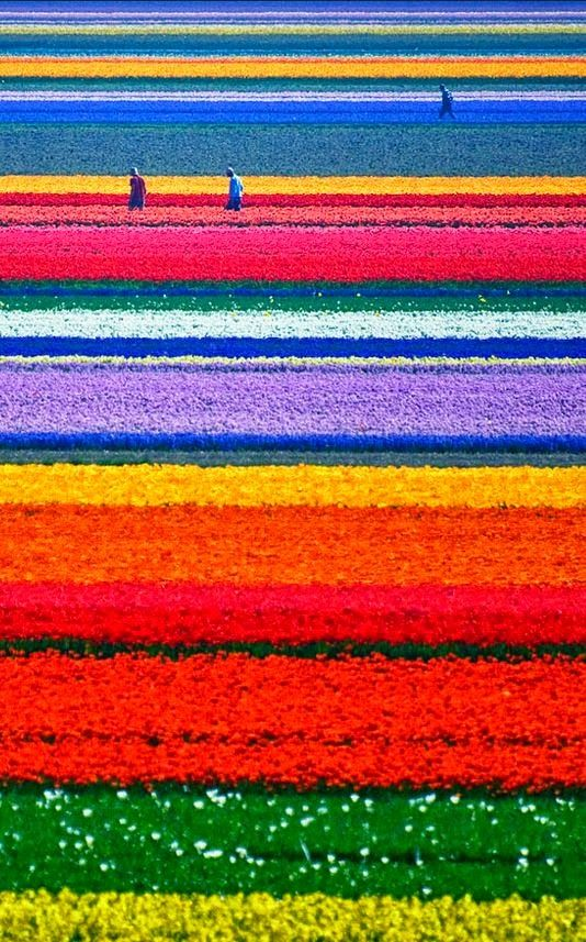 8.Tulip Fields, Netherlands