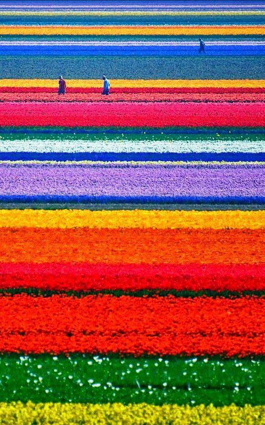 8.Tulip Fields, Netherlands